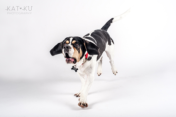 Kat Ku Photography - Jack the Beagle_09