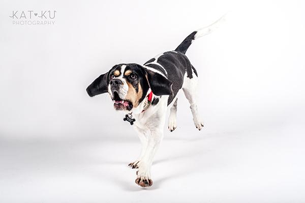 Kat Ku Photography - Jack the Beagle_09