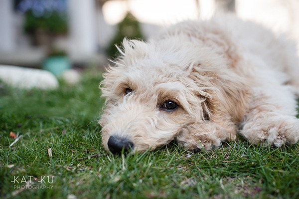 Kat Ku Pet Photography - Minnie Goldendoodle_06