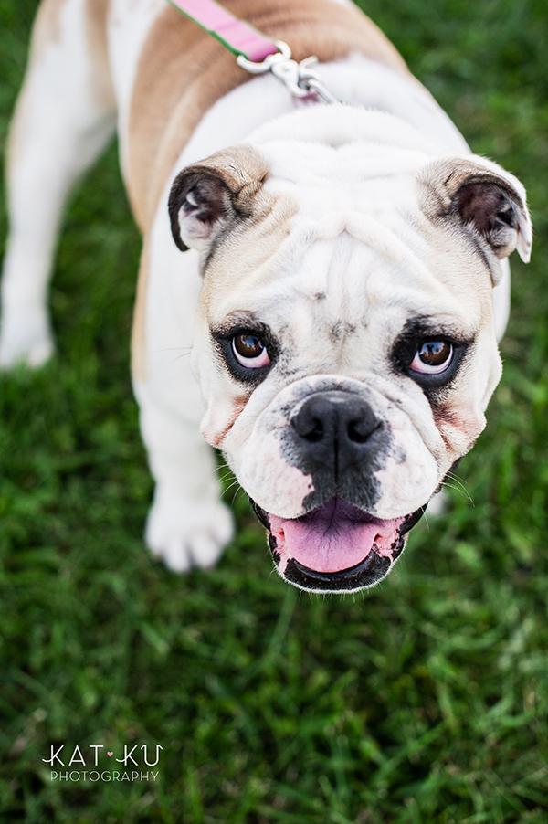 kat-ku-gemma-english-bulldog-pet-photography_10