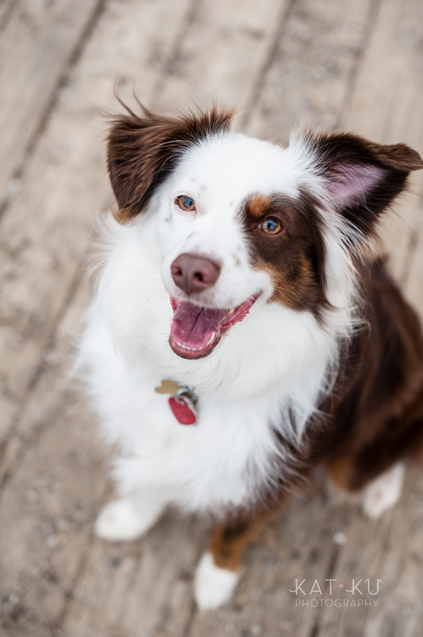 kat-ku-photography-dakota-australian-shepherd_06