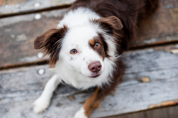 kat-ku-photography-dakota-australian-shepherd_08