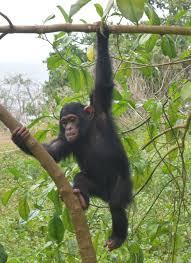 Ngamba chimpanzee