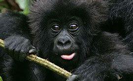 Rwanda Gorilla Trekking Safari Tour one Day