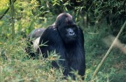 Congo Gorilla Tours and Gorilla Safaris