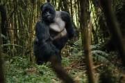 Gorilla Trekking Tips, Advise for Uganda, Rwanda and Congo