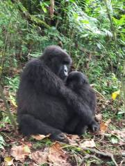2 Days Gorilla Trekking Uganda in Bwindi Forest Starting From $990