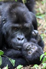 Book Congo Gorilla Permits for Virunga National Park and Kahuzi Biega National Park