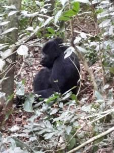 Cost of Gorilla Permits