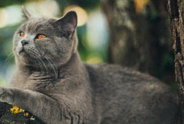 Deze Britse Blauwe kat kan zijn natuurlijk gedrag uitvoeren door te klimmen in deze boom te klimmen.