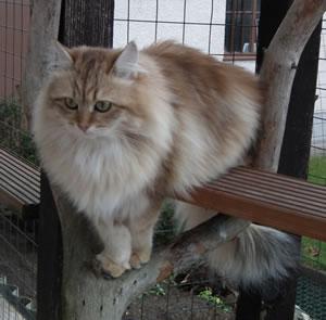 Die Sibirische Katze Alle Wichtigen Infos Zu