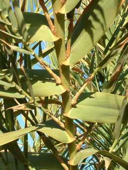 Arundo close-up Kekaha 2nd ditch 12-26-02
