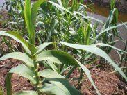 Arundo growing along a ditch-small