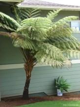 Australian Tree Fern