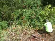 Barbados gooseberry