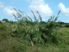 Clump of arundo in Wailua