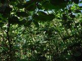 Underneath False Kava thicket