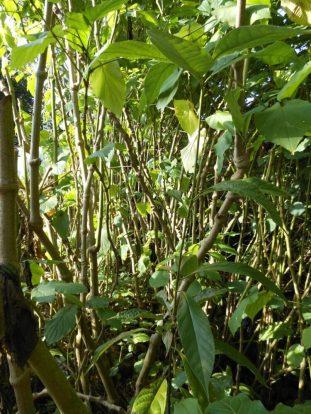 Distinctive jointed stems of false kava