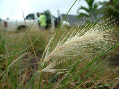Feathertop grass seedhead closeup