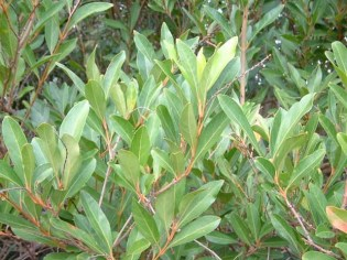Fiddlewood leaves