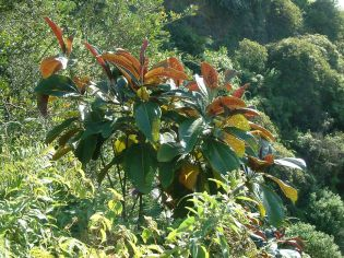 Miconia in the Wailua Game Management Area