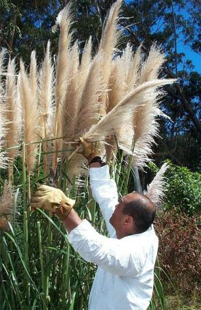 Pampas grass on Maui