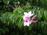 Rubbervine funnel shaped flowers