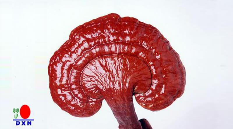 ganoderma gomba gyógyhatásai