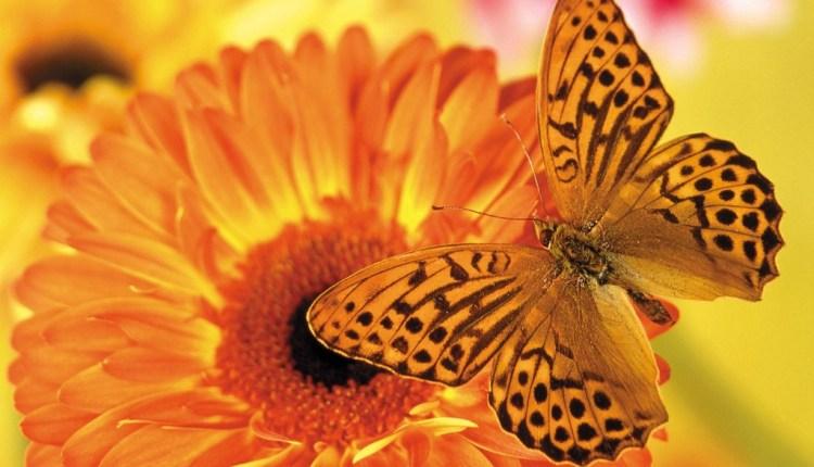 orange_butterfly_attracted_to_orange_flower1.jpg