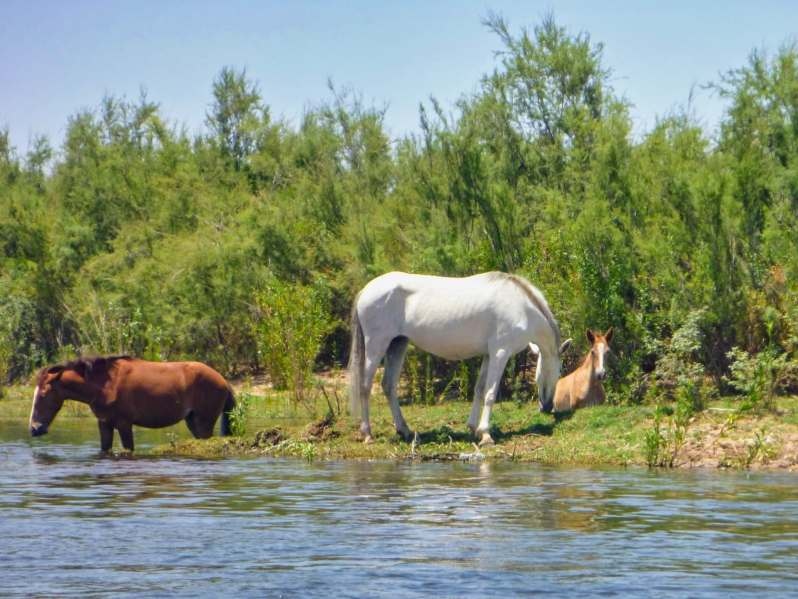 Three Salt River Wild Horses grazing on the riverbank