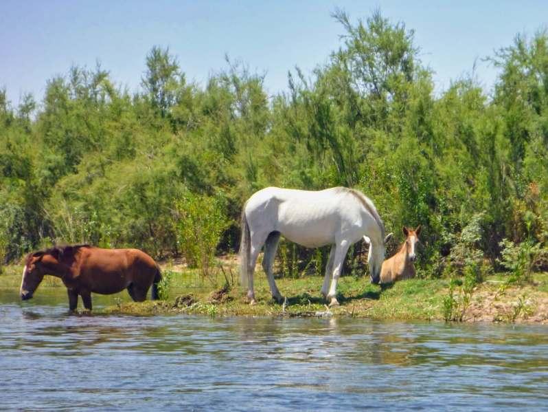 Three Salt River Wild Horses grazing on the riverbank