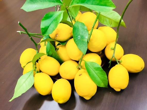 豊川市 KAYAMAファーム レモン ゆず 栽培