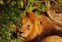 Photo of Kako zaštiti afričke lavove od lovokradica i farmera?