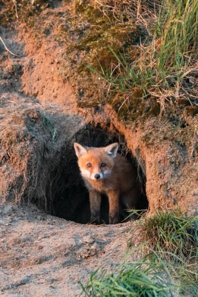 Rotfuchs | Vulpes vulpes