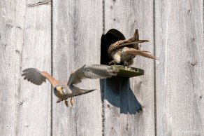 Turmfalke   Falco tinnunculus   Start