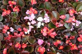 Begonia Bronze Leave