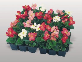 Begonia Super Olympia Mix