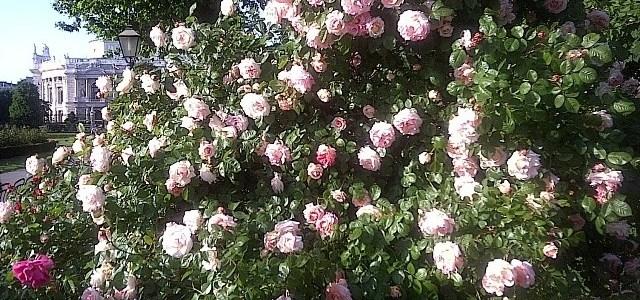 Pink Roses in Volksgarten
