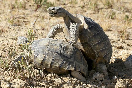 Mature desert tortoises mating.   Photo: Courtesy David Lamfrom.