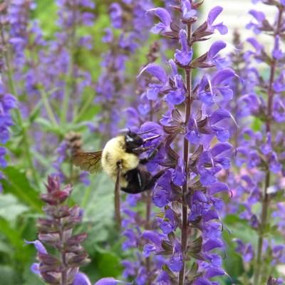 The bees like Salvia too.