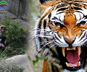 Nyaris Menjadi Santapan Harimau, Petugas Kebun Binatang Selamat Berkat Teriakan