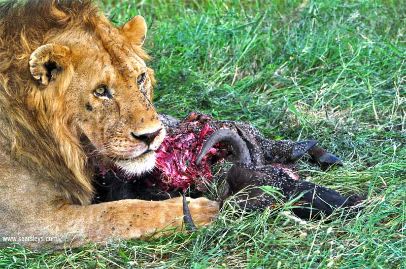 Lions Eating a Wildebeest