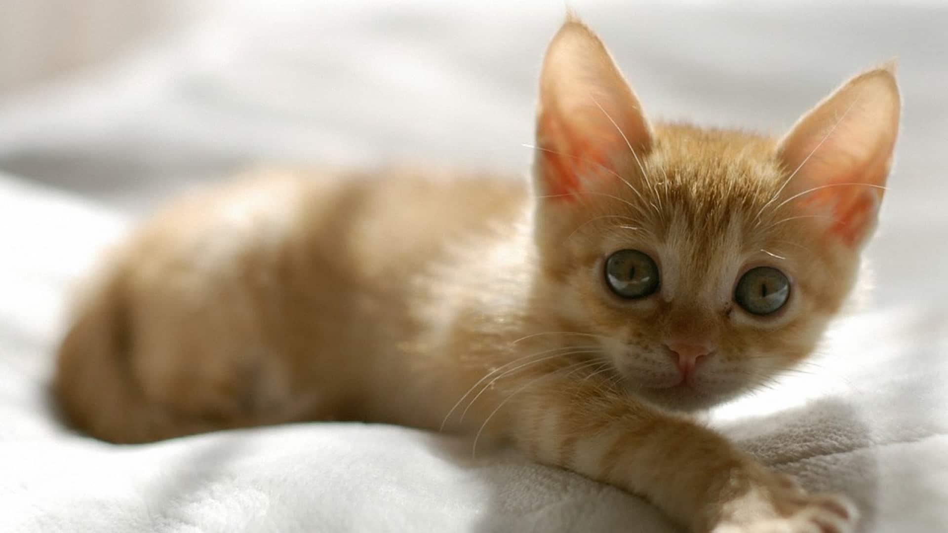 cute orange kitten wallpaper