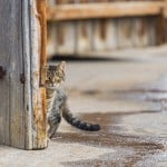 utangac kedi
