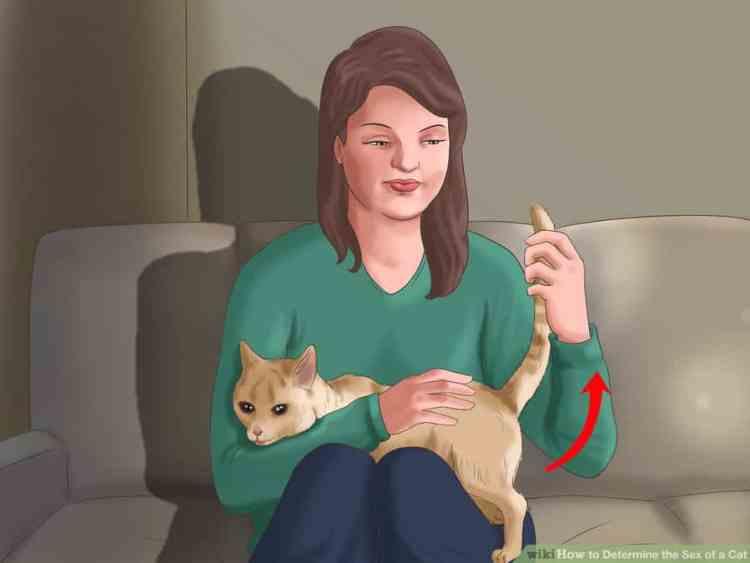 kedilerde cinsiyet anlamak 2