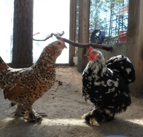 Corky and Ducky, a pair of bantam chickens