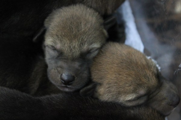 two red wolf pups cuddled