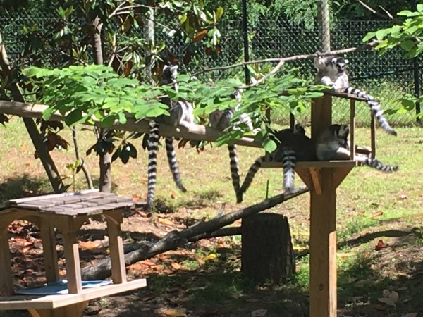 7 ring tailed lemurs on platforms