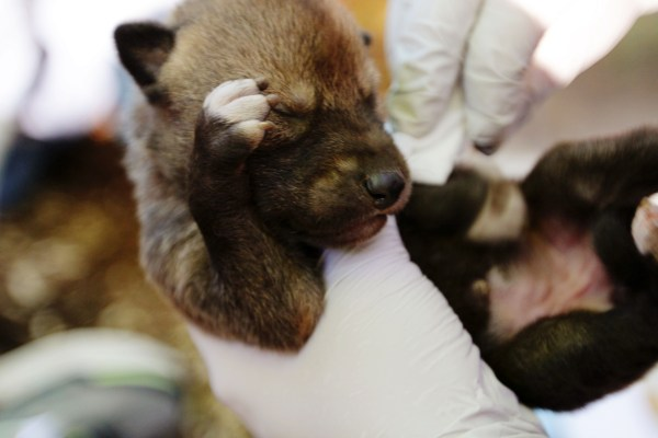 red wolf pup in hand