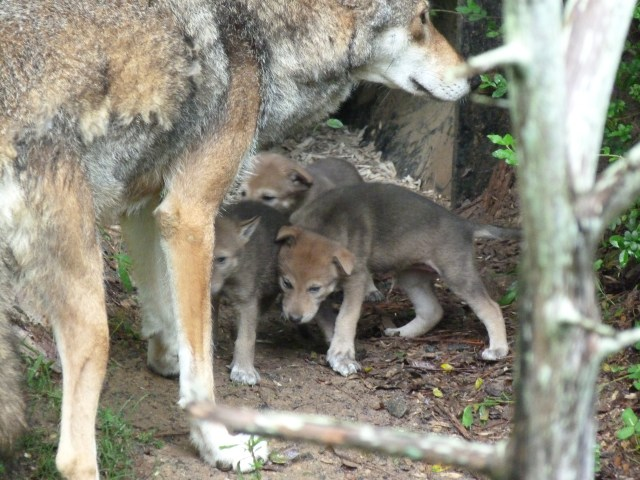 Male red wolf with pups